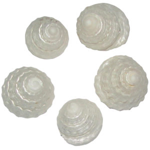 a1975-mahameru-chakra-sea-shell-5-pieces